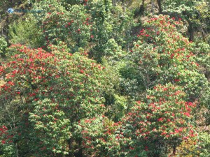 61. Laligurans national nepali flower forest Red