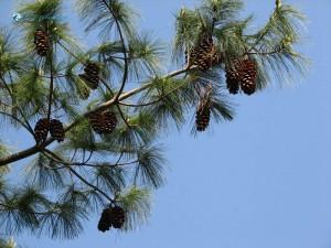 81. pine cones