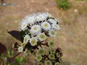 96. spiny flower