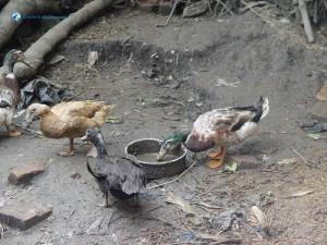 45. Muddy Duck