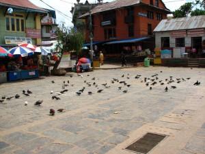 68. Pigeons