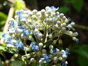 8. Beautiful white blue berries make mouth watering