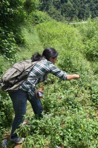Collecting wild chillies