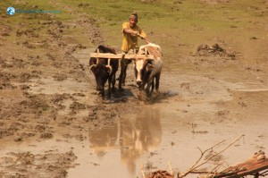 11. A typical way of ploughing a field...