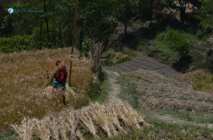22. Harvesting barley