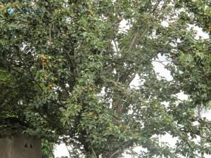 12. Pears