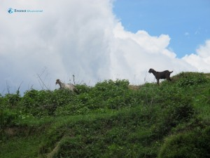 23. Goat's grazing