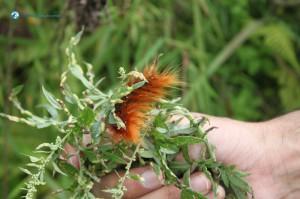 27. Red Caterpillar
