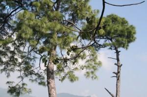 10. Choerospondias axillaris, known as Lapsi लप्सी