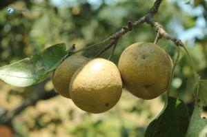 14. Pharping Famous Pears