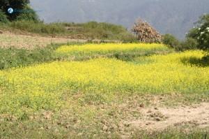 16. Mustard Field