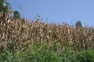 26. Corn farm