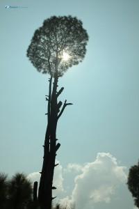 31. Schorching tree