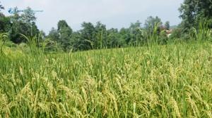 43. Rice field