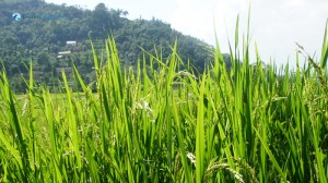 44. Rice field zoom