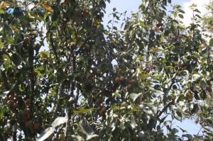 44. Tree full of Pears