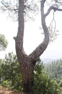 48. Y- Tree