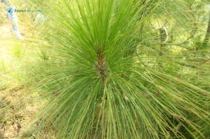 50. Pine