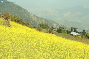 16. Beautiful mustard field