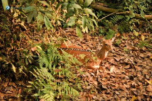 51. We spotted a Spotted Deer