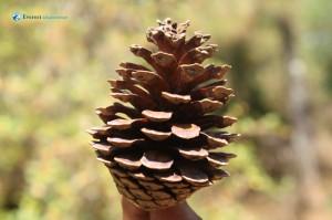 37. Pine seed