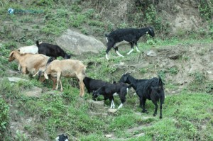 7. Grazing Goat Production