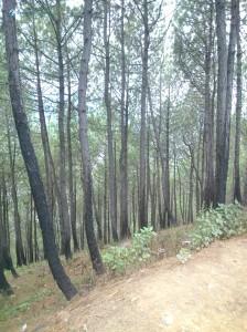 11. Pine Trees