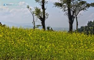 13. Mustard field