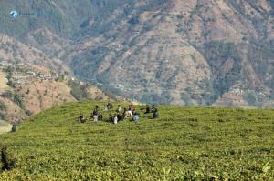 25. Modern Tea Farmers
