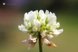 46. White Flower