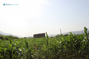 13. Green Corn Field