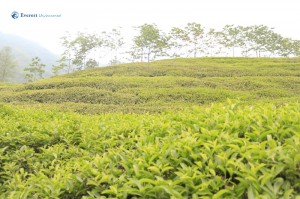 13. Majistic Tea Garden