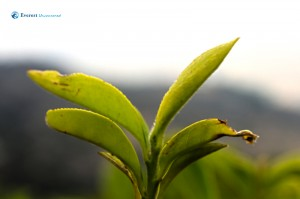 19. lively Tea leaves