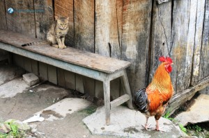 19. The Cat and the Rooster