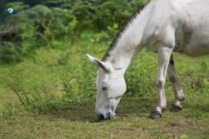 43. White Horse