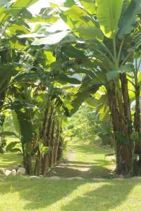 43. Into The Banana Jungle