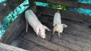 46.Living Pork