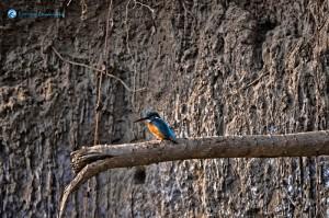 Kingfisher at Sauraha