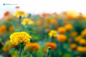 12. Simply Beautiful Marigold