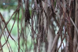 9. Prop roots