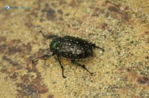 49. Beetle