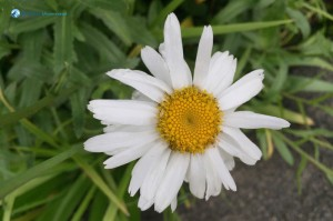 50. Guess the flower