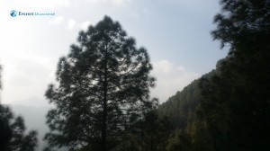 45. Pine
