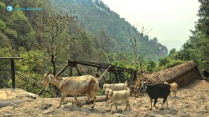 10. Hiking goats