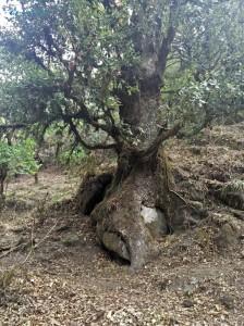 9. Old tree