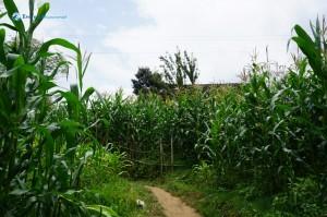 13. Maize