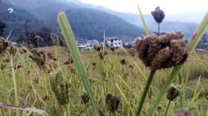 18. Millet_Crops