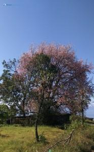31. Paiyoun_Tree
