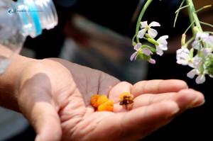 12) Rubus ellipticus